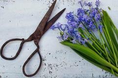Oude rustieke schaar en violette hyacinthaceae Stock Afbeeldingen
