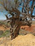 Oude saxaul (Haloxylon persicul) Royalty-vrije Stock Afbeelding