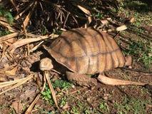 Oude schildpad op land in Kauai, Hawaï stock afbeelding