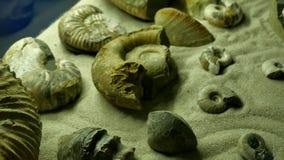 Oude shell velen ammoniet voorhistorisch fossiel op de oppervlakte van het steen, Archeologie en paleontologieconcept stock footage