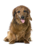 Oude sightless hond: Tekkel (15 jaar oud) Stock Afbeelding
