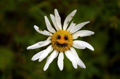 Oude sjofele kamillebloem met grappige glimlach Stock Foto's
