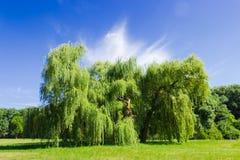 Oude solitaire wilg in het park Stock Afbeelding