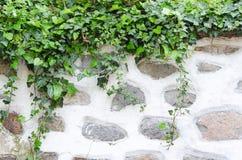 Oude steenmuur, pleister en groene klimop Stock Foto