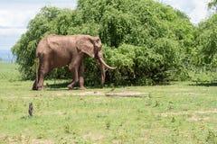 Oude stierenolifant Royalty-vrije Stock Foto