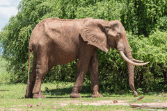 Oude stierenolifant Royalty-vrije Stock Foto's