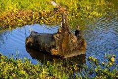 Oude stomp in het water Stock Fotografie