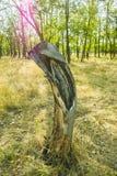 Oude stomp met een gat in het midden in het hout Stock Foto