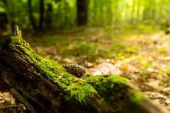 Oude stomp, mos, sparappel in de de herfst bos Wilde bos, gele bladeren royalty-vrije stock foto's