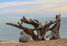 Oude stompen die op stranden interesseren stock foto's