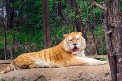 Oude tijger royalty-vrije stock fotografie