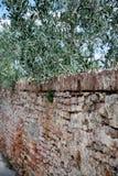 Oude Toscaanse Muur met Olive Tree Branches Hanging Over-Kant Royalty-vrije Stock Afbeeldingen