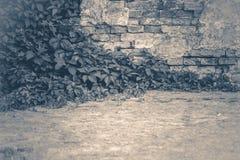 Oude uitstekende foto Verdraaide de klimop van de muurbaksteen Royalty-vrije Stock Fotografie