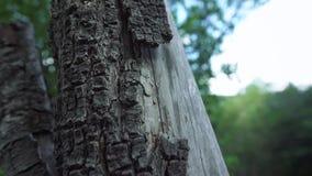 Oude vernietigde boomboomstam stock videobeelden