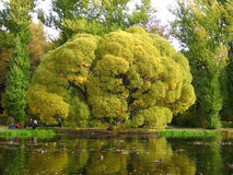 Oude vertakte boom bij een vijver Royalty-vrije Stock Foto