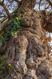 Oude Vijgeboom Royalty-vrije Stock Foto's