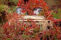 Oude vrachtwagen overwoekerde rode wilde druiven Royalty-vrije Stock Foto