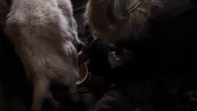 Oude vrouw die een geit gezond en natuurlijk dieet in dorp melken stock video