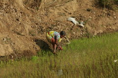 Oude vrouw in het landbouwwerk Stock Foto