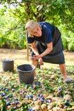 Oude vrouw het oogsten pruimen Stock Afbeeldingen