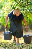 Oude vrouw het oogsten pruimen Stock Foto