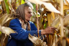 Oude vrouwelijke landbouwer bij graanoogst Royalty-vrije Stock Foto's