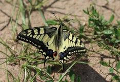Oude Wereld Swallowtail stock fotografie