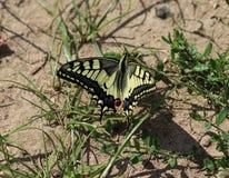 Oude Wereld Swallowtail royalty-vrije stock foto