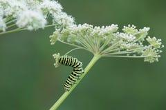 Oude wereld swallowtail, de larve van Papilio machanon het voeden op koepeterselie royalty-vrije stock fotografie