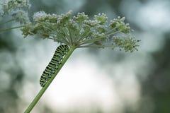 Oude wereld swallowtail, de larve van Papilio machanon op koepeterselie royalty-vrije stock foto's