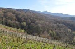 Oude wijngaard Royalty-vrije Stock Fotografie