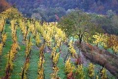 Oude wijngaard in Italië Stock Foto's