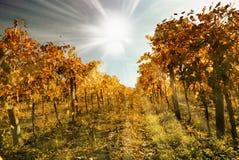 Oude wijngaard onder blauwe hemel Royalty-vrije Stock Foto's