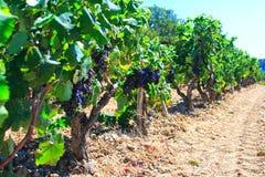 Oude wijngaarden Royalty-vrije Stock Afbeeldingen