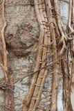 Oude wijnstok rond de boom Royalty-vrije Stock Foto's
