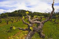 Oude Wijnstok Zinfandel Stock Foto's