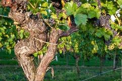 Oude wijnstokken Stock Afbeeldingen
