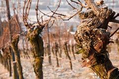 Oude wijnstokken in een wijngaard in de winter Royalty-vrije Stock Foto