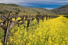 Oude wijnstokken en bloeiende mosterdbloemen royalty-vrije stock foto