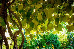 Oude wijnstokken en rustieke tuin stock foto's