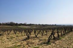 Oude wijnstokken op een gebied Stock Afbeelding