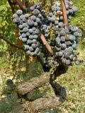 Oude wijnstokken (steel) met de druiven Stock Fotografie