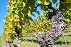 Oude wijnstokvoorraad in een wijngaard Royalty-vrije Stock Foto's
