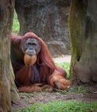Oude wijze orangoetan royalty-vrije stock afbeelding