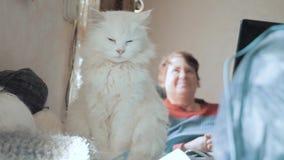 Oude witte de slaapzitting van de huisdierenkat op de lijst naast de ballen voor het breien oude mooie witte kattenzitting door stock footage