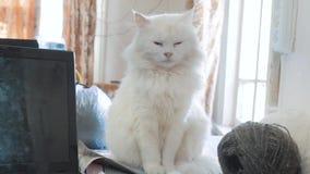 Oude witte pluizig slaapt de zitting van het kattenportret op de lijst oude mooie witte kattenzitting door het venster van stock video