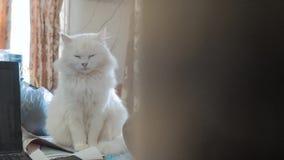 Oude witte pluizig slaapt de zitting van het kattenportret op de lijst oude mooie witte kattenzitting door de vensterlevensstijl stock video