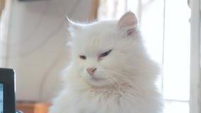 Oude witte pluizig slaapt kattenportret de oude mooie witte kattenzitting door het venster van het huis sloot levensstijl stock videobeelden