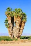 Oude woestijnpalmen Royalty-vrije Stock Afbeeldingen