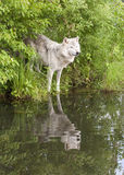 Oude Wolf bij het Meer met Bezinning stock foto